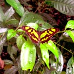 Belize Photo of the Day: The Malachite Butterfly