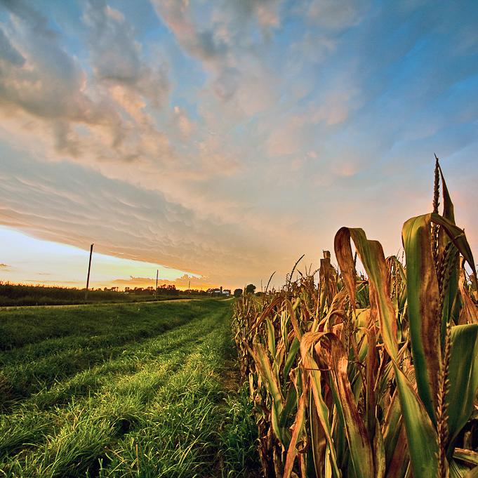 Belize-Corn-GMO-Agriculture