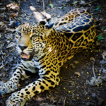 Belize's Big Cats Get a helping Hand as another Belizen Eco-Initiative Takes Off