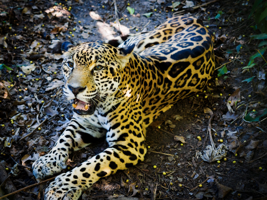 Belize-Jaguar-Wild-Jungle-Cat