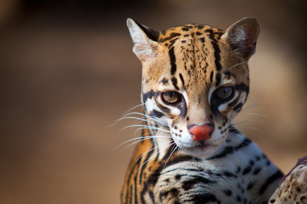 Belize-Big-Cat-Species-Ocelot