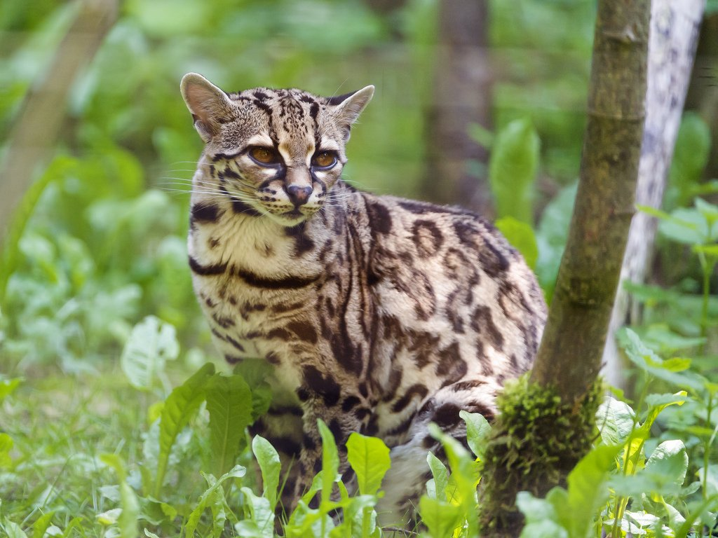 Belize-Big-Cats-Margay