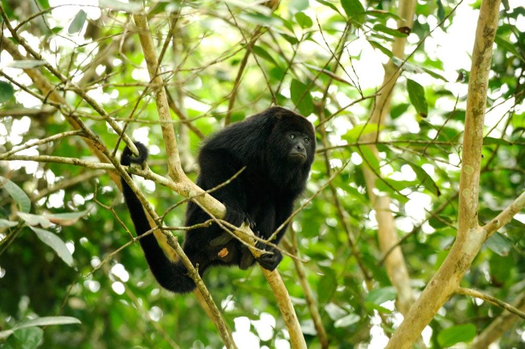 Belize-Howler-Monkey-Animal