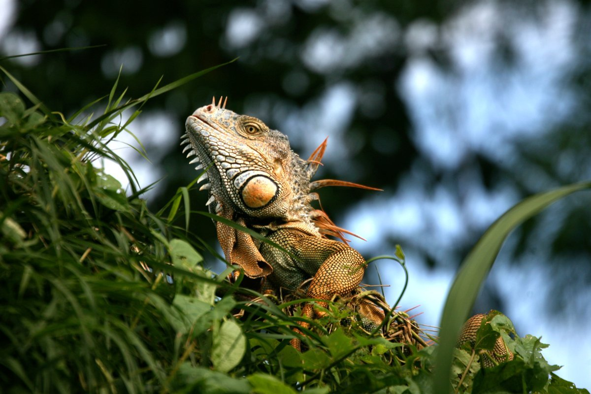 Belize-Lizards-Iguana