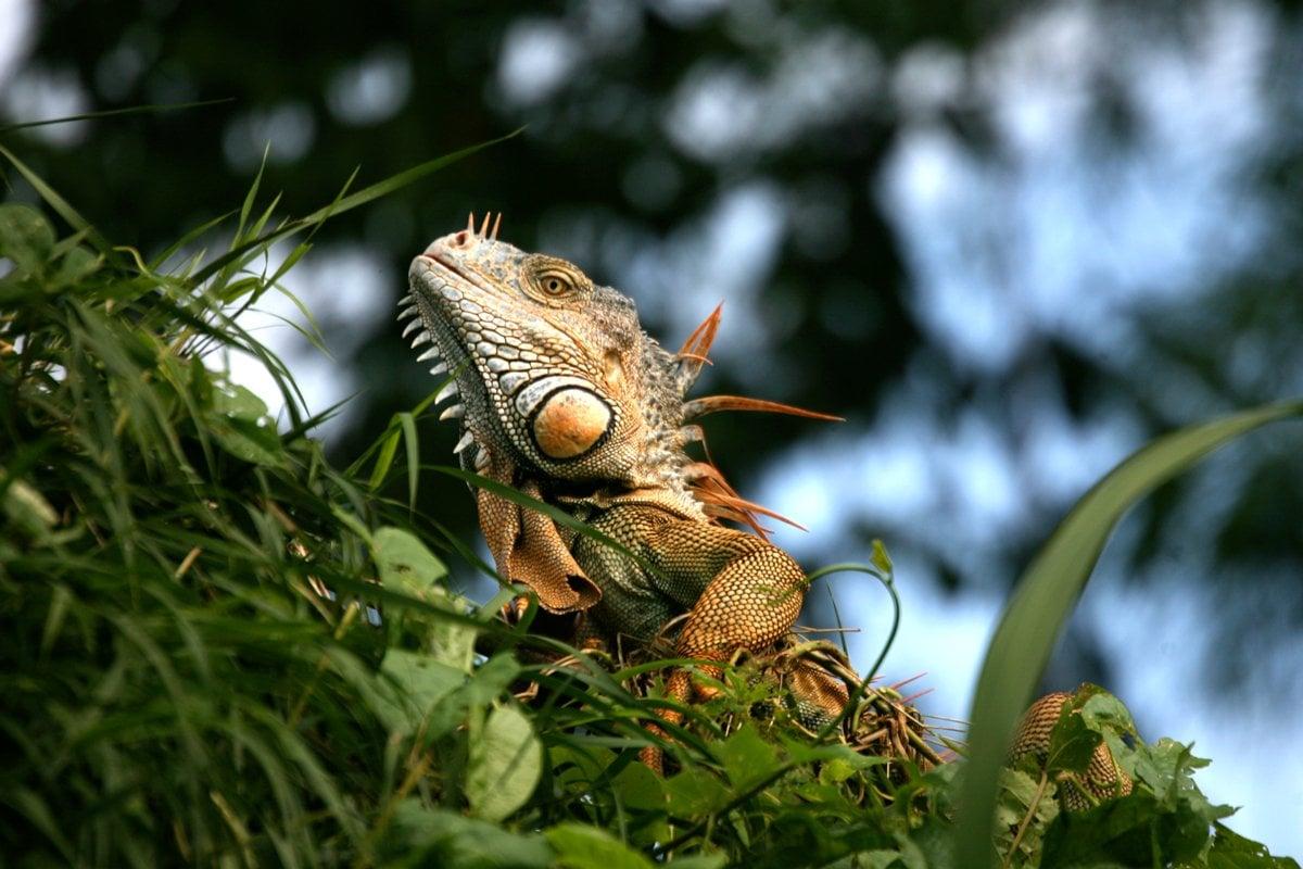 Belize-Lizards-Iguana