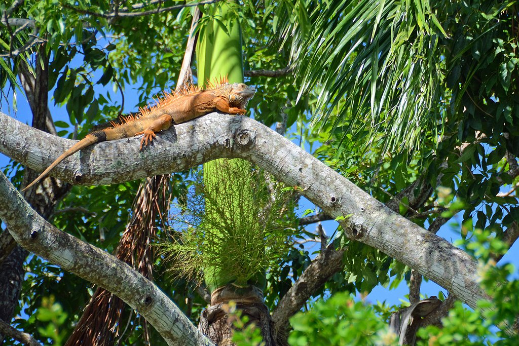 Canoeing-in-Belize-River-iguana