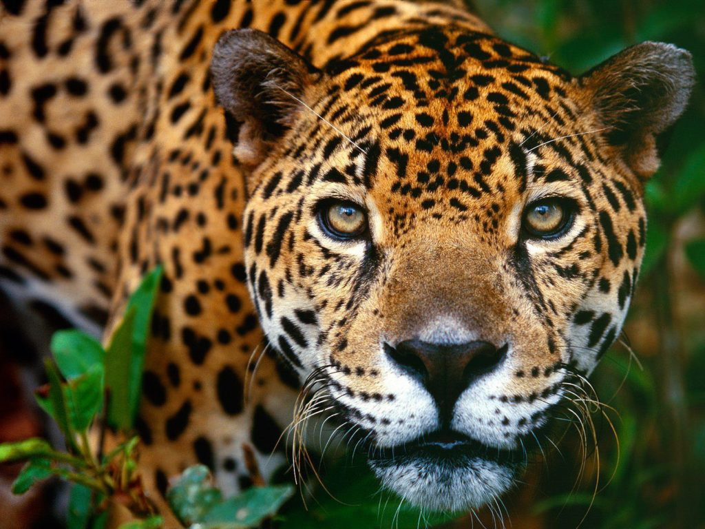 Belize-Big-Cat-Jaguar