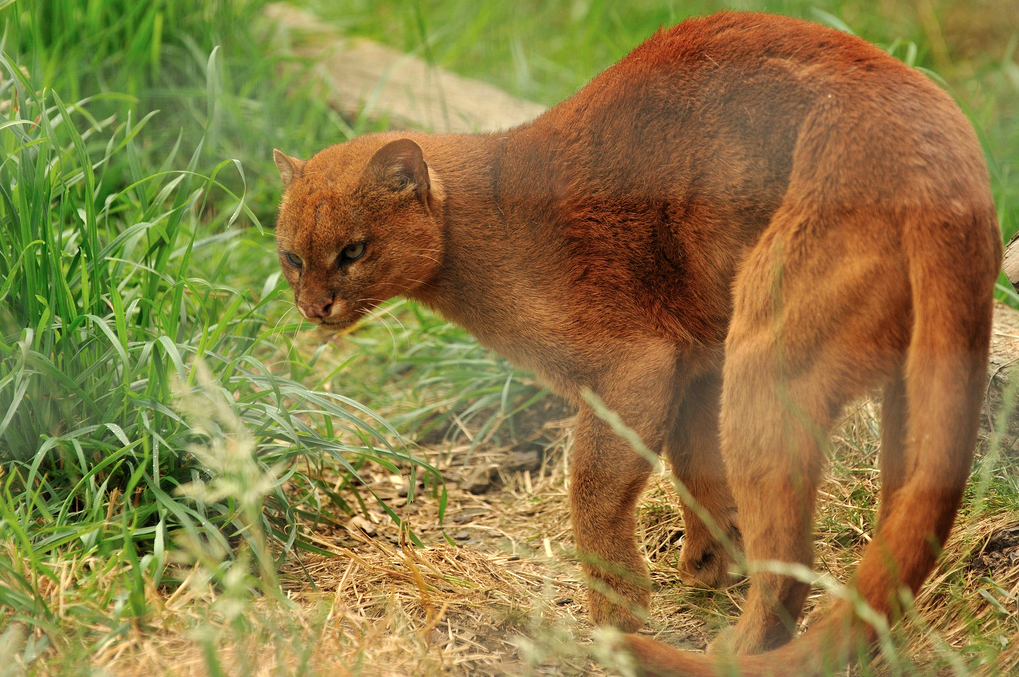Belize-Big-Cats-Species-Jaguarundi