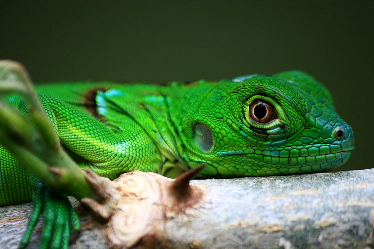 belize-lizards-green-iguana-coloration