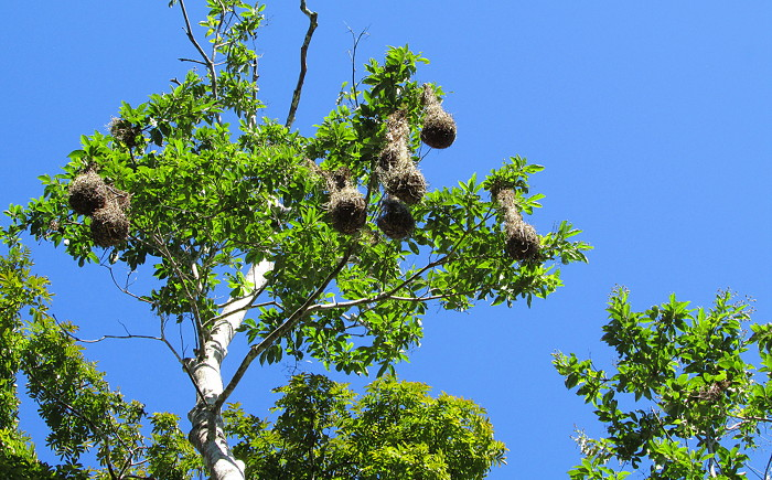 beaver-bird-nest-belize