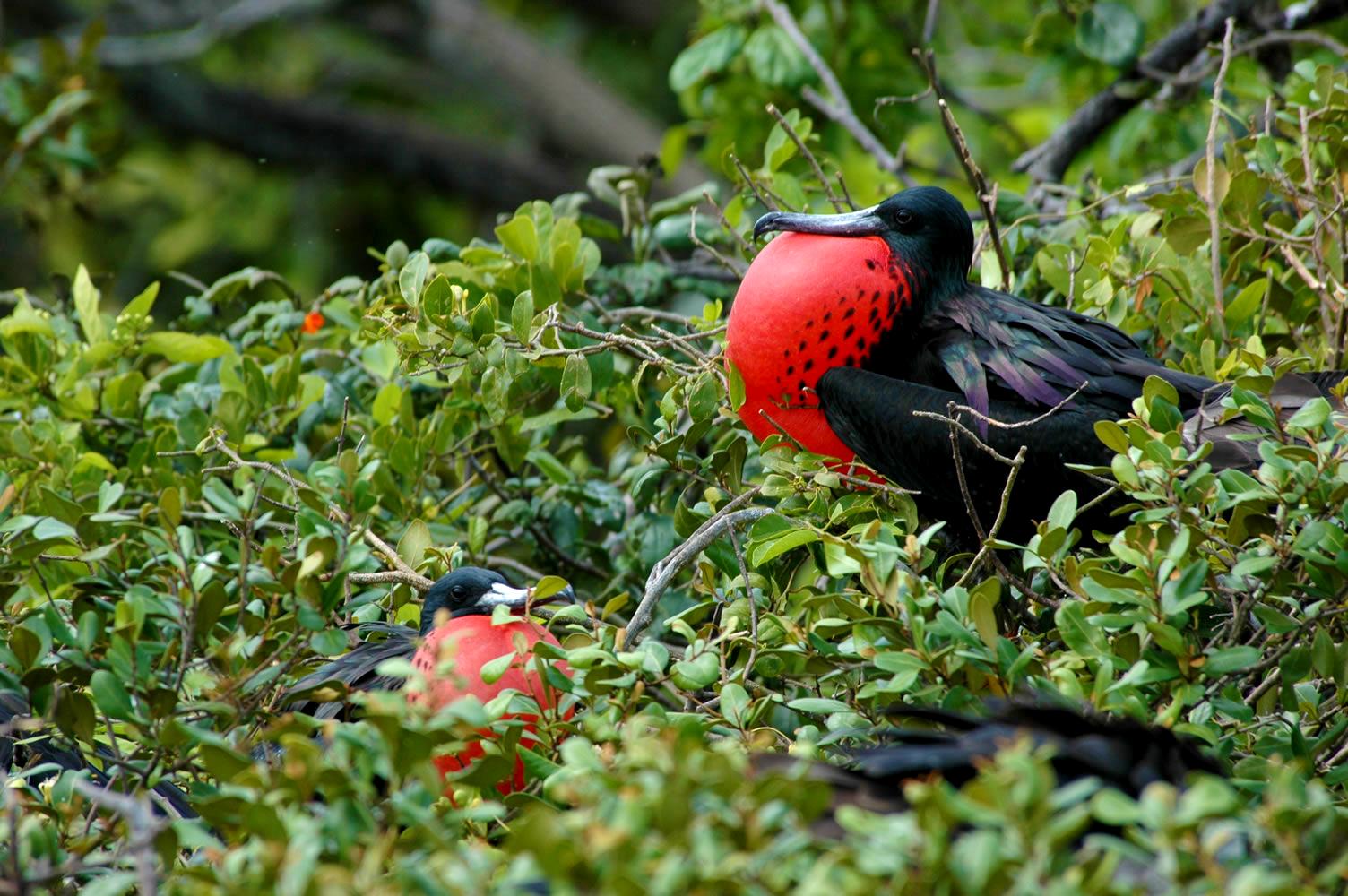 birding-in-belize-halfmoon-caye