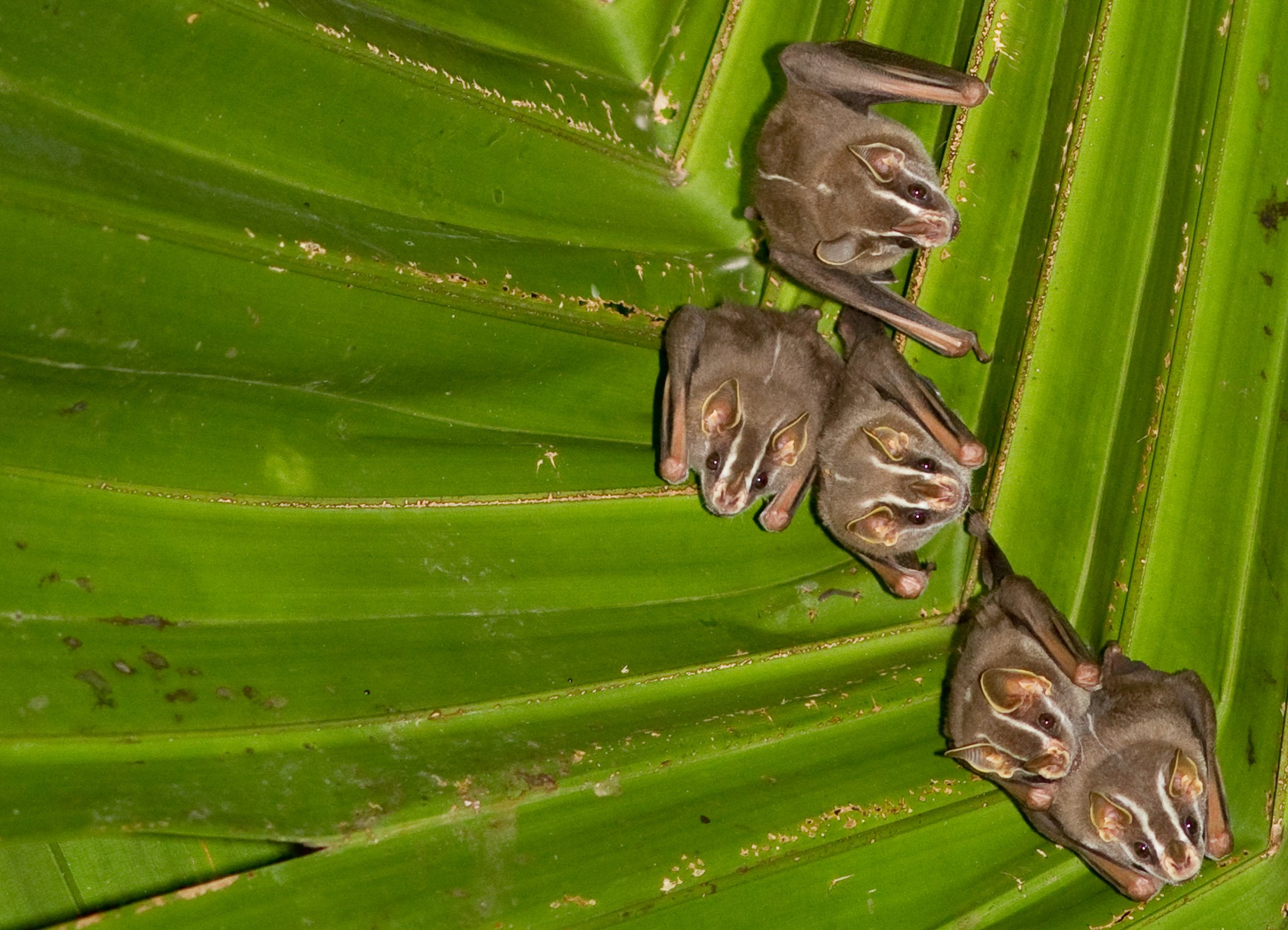 Fruit-eating-Bat-Belize