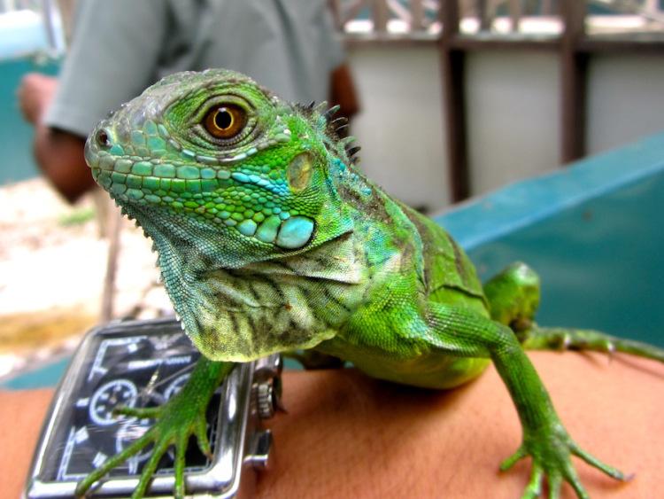 Iguana-Conservation-Project-San-Ignacio