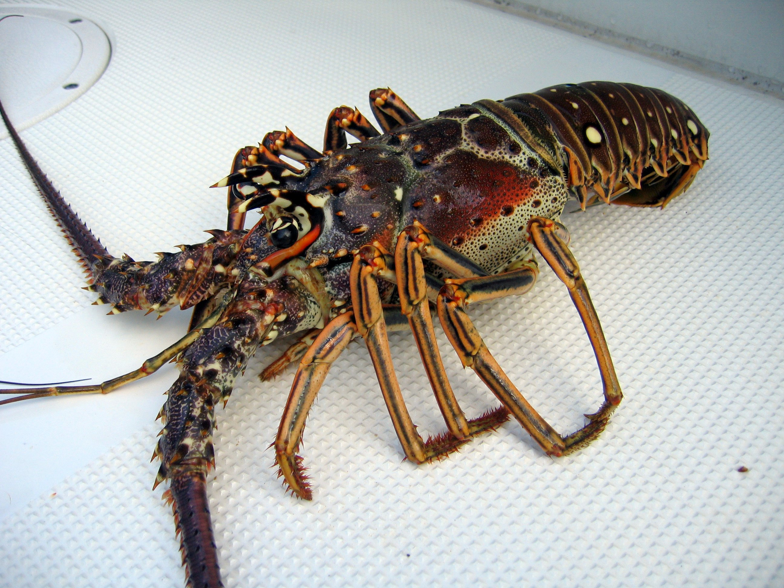 Panulirus argus Lobster specie found in Belize