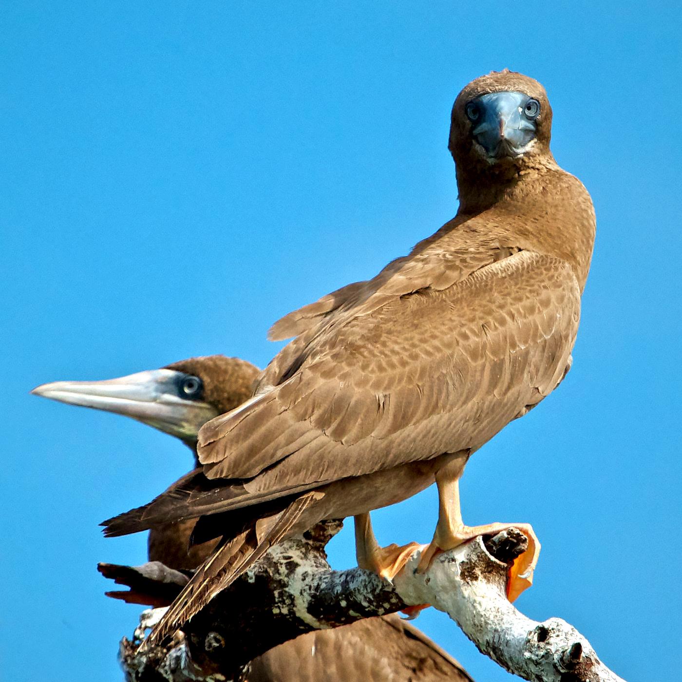 brown-boobies-belize-birds