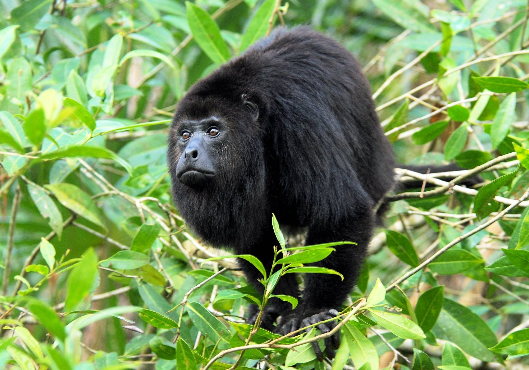 The-black-howler-monkey