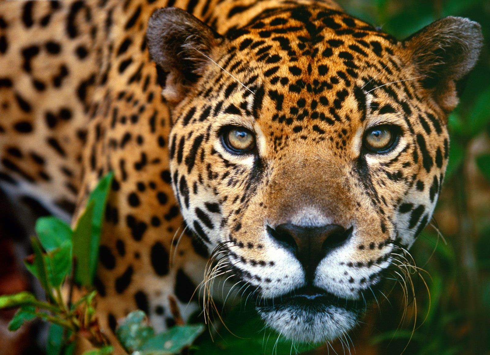 The-Belize-Jaguar