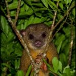 Animals of Belize : The Kinkajou