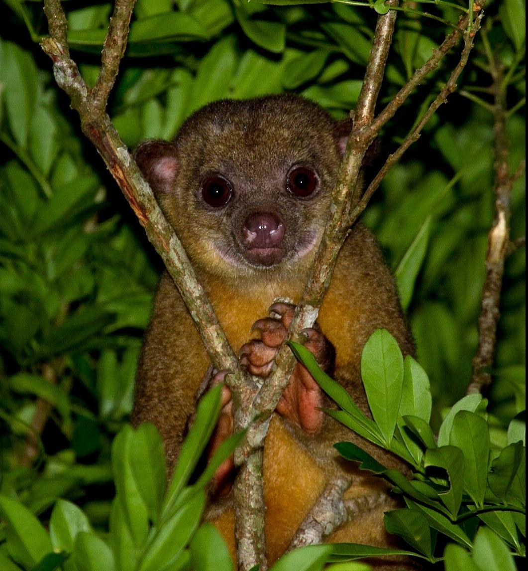 Kinkajou- in -Belize