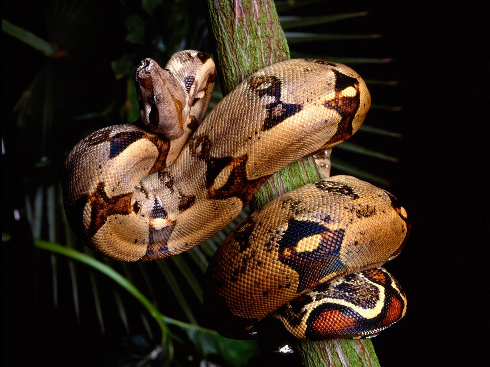 Belize-Boa-Constrictor
