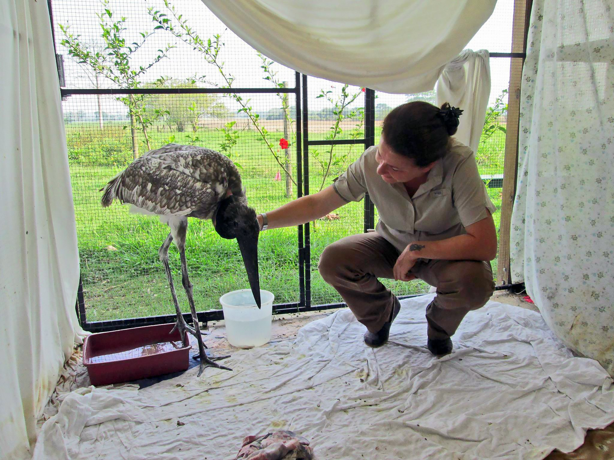 Dr. Isabell with rescued Belize Jabiru Donovan