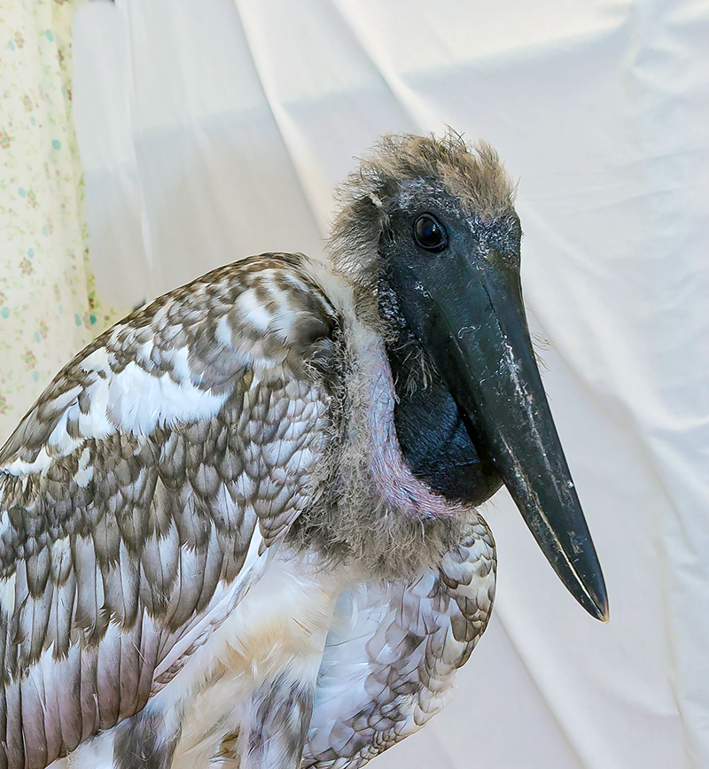 "The rescued Jabiru Bird ""Donovan"""