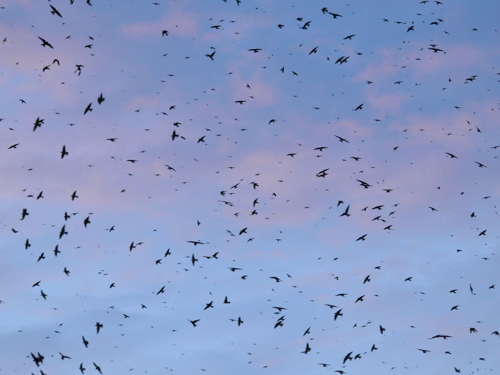 Flock-Purple-Martins