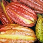Belize Cacao: a revolution going on in Southern Belize!