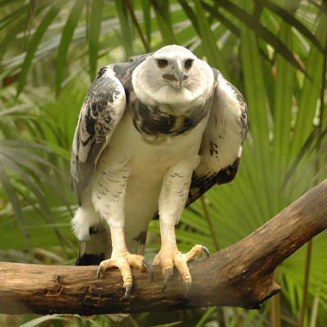 Belize-Harpy-Eagle