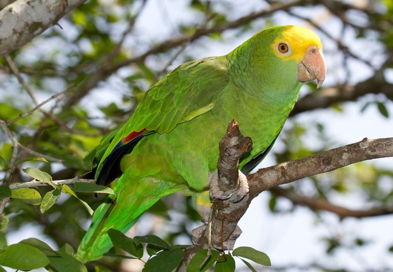 Belize-Yellowhead-parrot