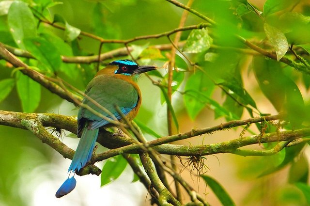 Belize-blue-crowned motmot
