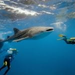 Vacation Planner Alert – Belize Whale Sharks