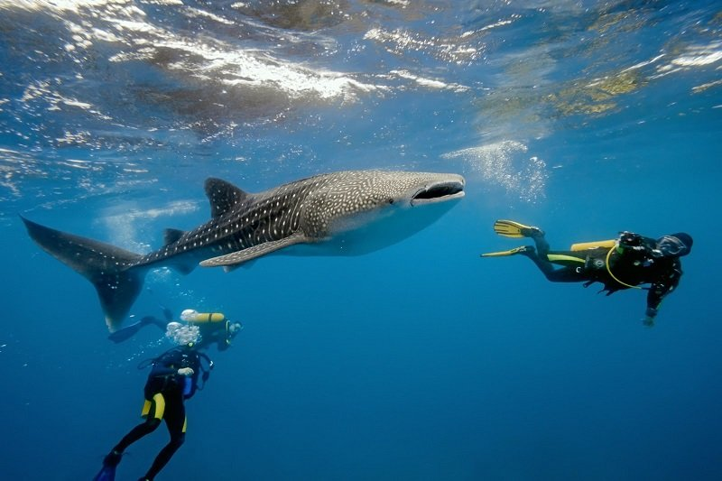 Belize-whale-shark