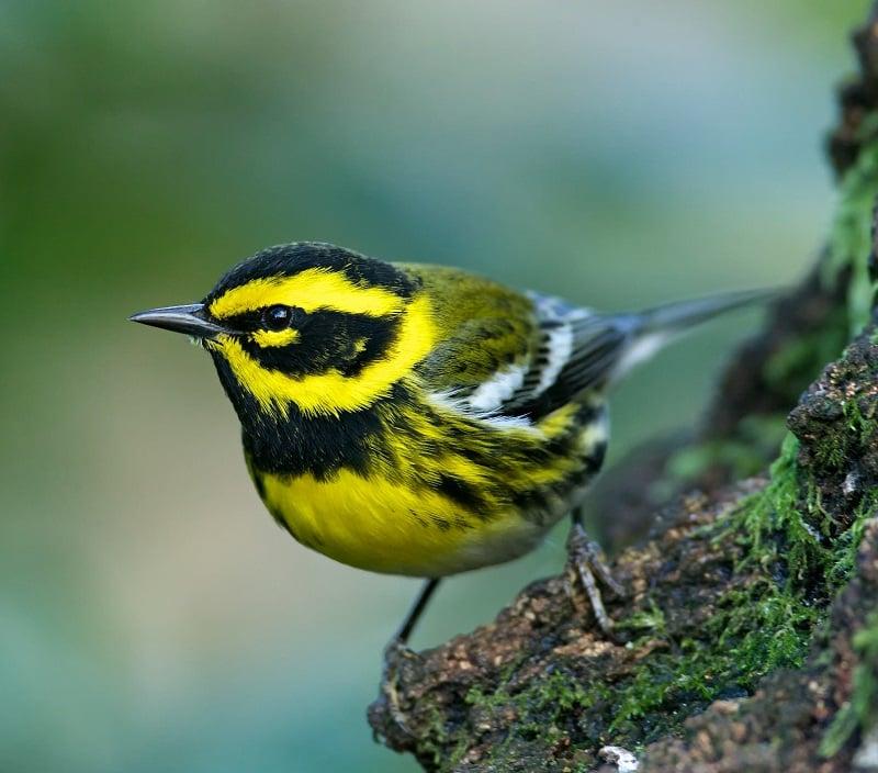 Townsends-Warbler-bird