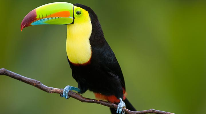 belize-keel-billed-toucan