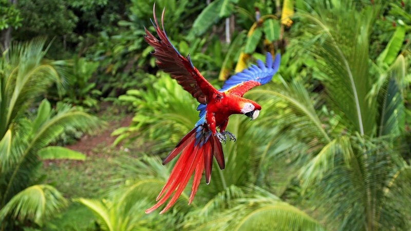 Belize of Belize - The Scarlet Macaw