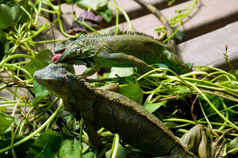 green_iguana_conservation_project_san_ignacio_belize_cayo_district