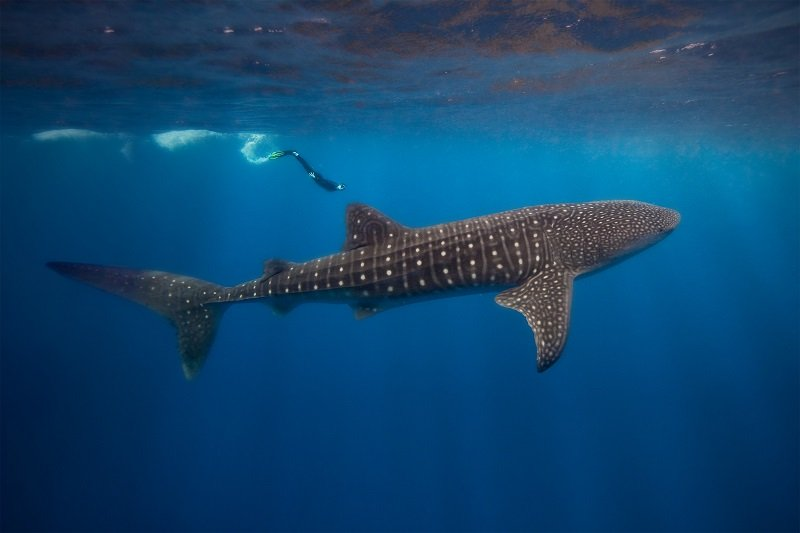 Belize-Whale-Shark-diving