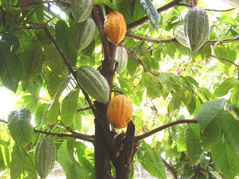 Belize-Fruits-Cacao
