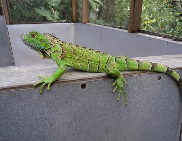 Belize-Iguana-Project