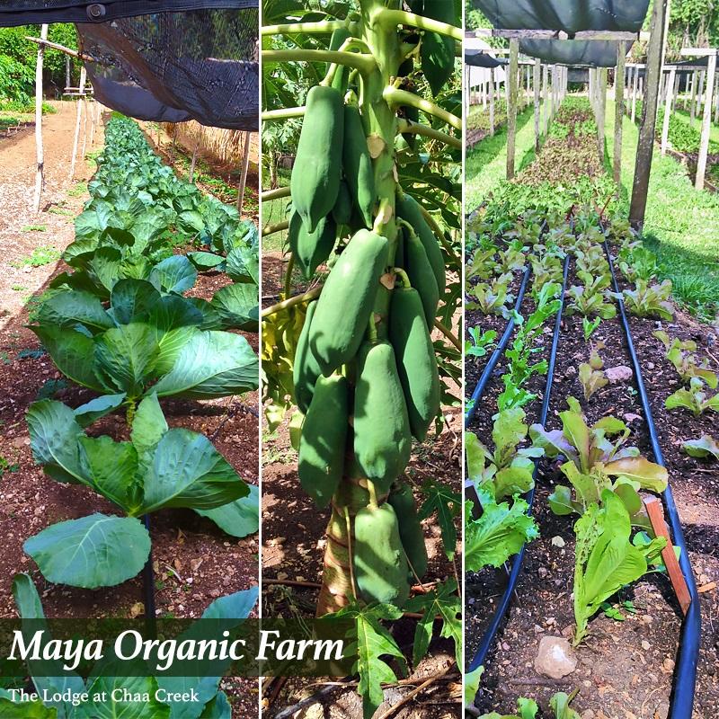 mayaorganicfarm