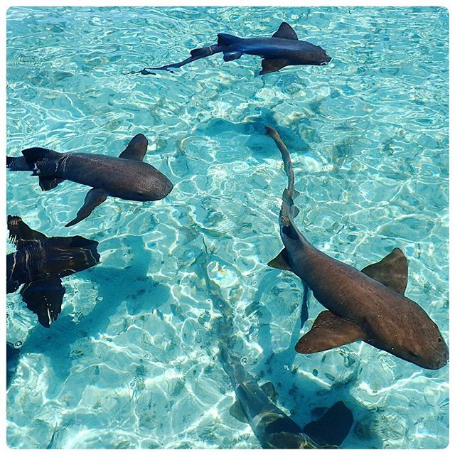 pictures-of-belize-snorkeling-shark-ray-alley