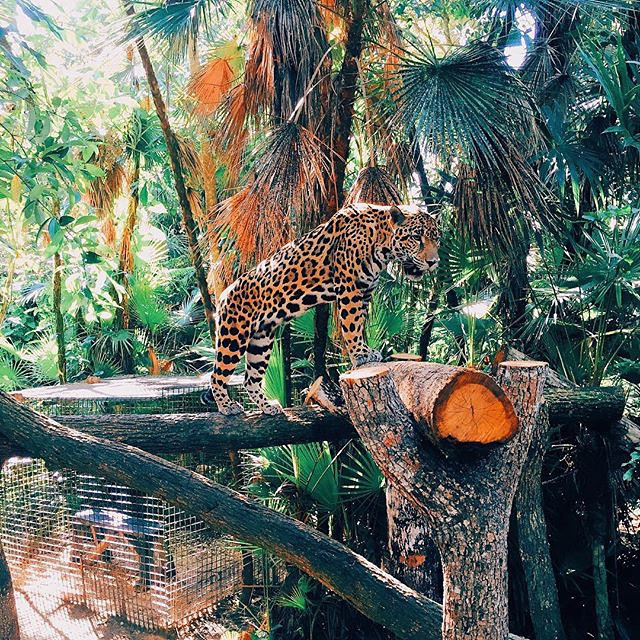 pictures-of-belize-zoo-jaguar-balaam