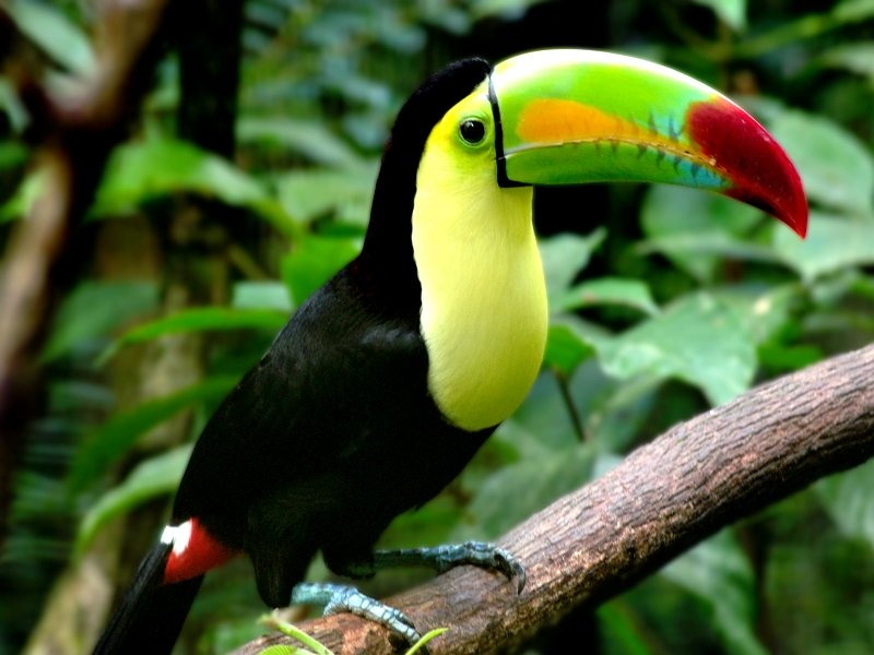 National bird of Belize Keel billed toucan