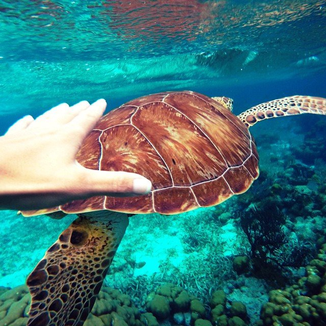 belize-snorkeling-sea-turtle_n