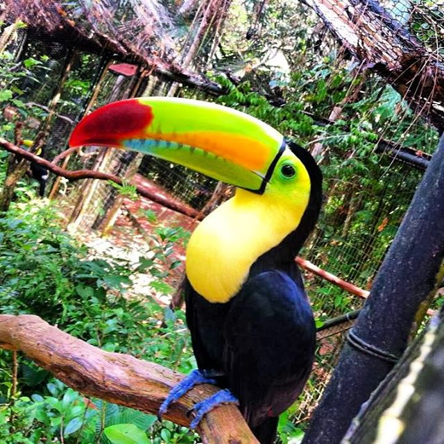 toucan-belize-zoo