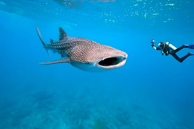 belize-whaleshark-diving