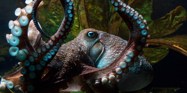 inky-the-octopus-belize-chaa-creek-2016