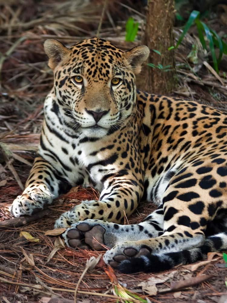 belize-in-one-lifetime-chaa-creek-2016-jaguar