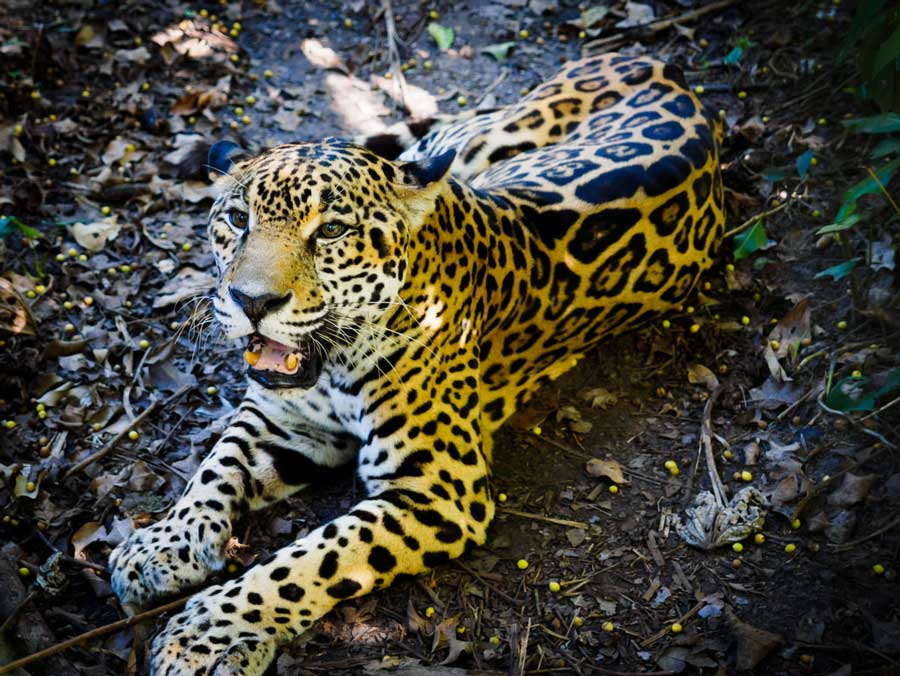 belize_animals_safari_chaa_creek-travel_guide_jaguar